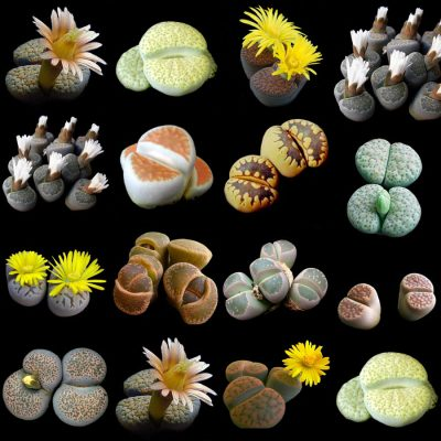 Lithops Collection – Living Stones – 10 Plants