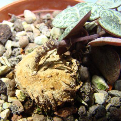 Ceropegia woodii – String of Hearts – Bulbs