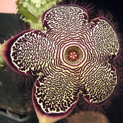 Edithcolea grandis – Persian Carpet Flower – Seeds