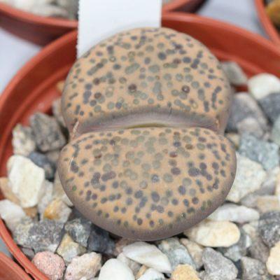 Lithops fulviceps – Living Stones – Plants