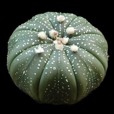 Astrophytum asterias – Sea Urchin Cactus – Seeds