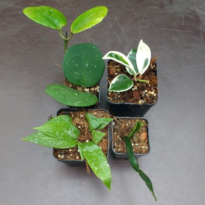Hoya Collection – 4 Plants