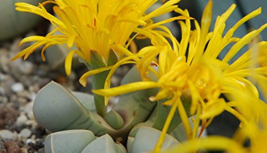 Lapidaria margaretae – Living Stones – Plants