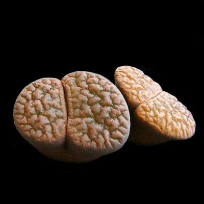 Lithops hookeri – Living Stones – Plants
