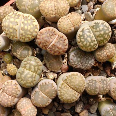 Lithops fulleri – Living Stones – Plants
