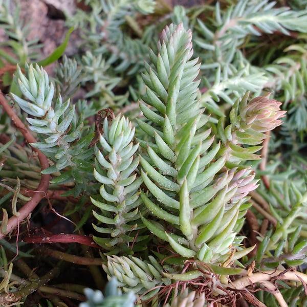 Sedum Mixed Seeds Sunnyplants Com