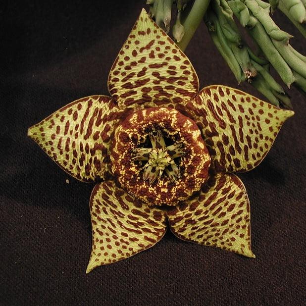 Orbea variegata – Stapelia – Cuttings