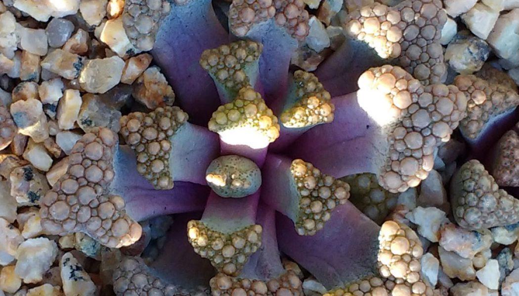 Titanopsis hugo-schlechteri – Living Stones – Plants