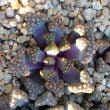 Titanopsis hugo-schlechteri plants