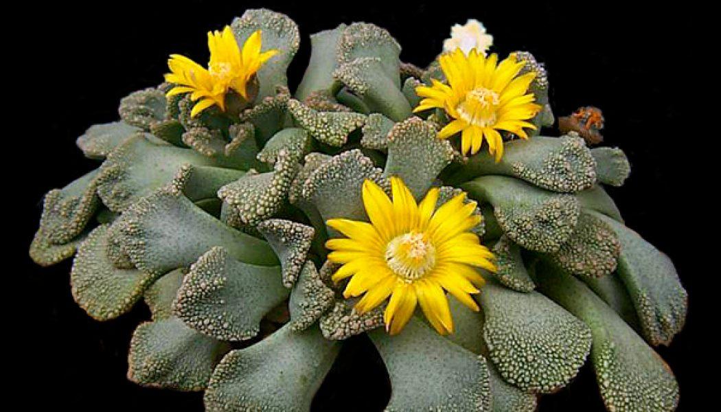Titanopsis calcarea – Living Stones – Plants