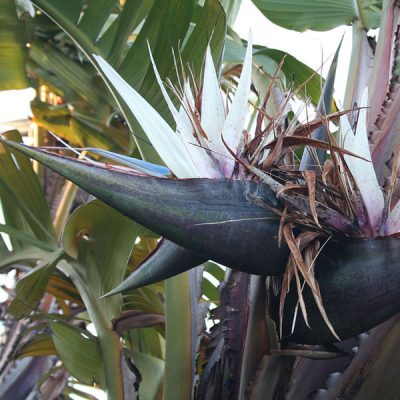 Strelitzia nicolai – Giant White Bird of Paradise – Seeds