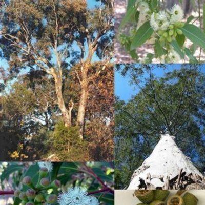 Eucalyptus Mixed Seeds