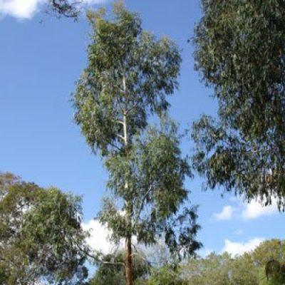 Eucalyptus viminalis – White Gum – Seeds