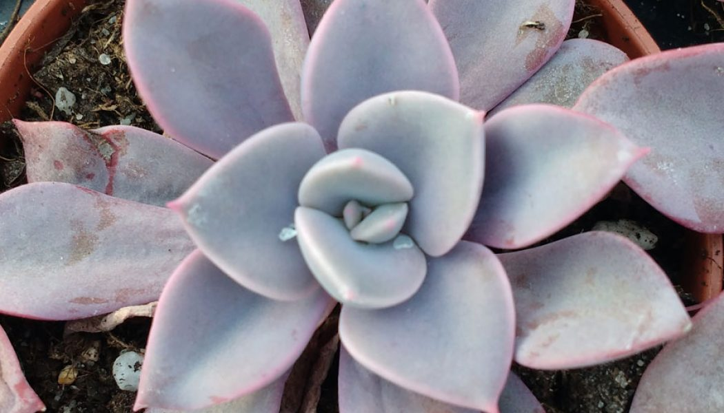Graptoveria Debbie – Cuttings