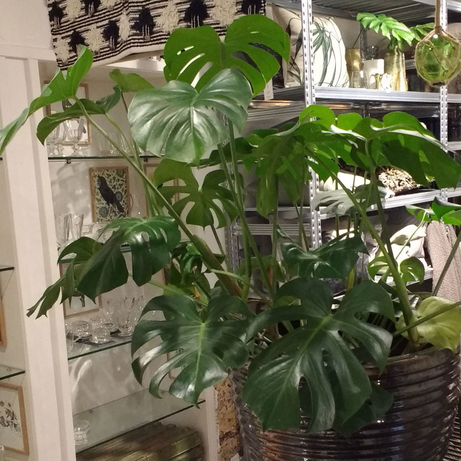 Monstera deliciosa swiss cheese plant seeds for Plante monstera