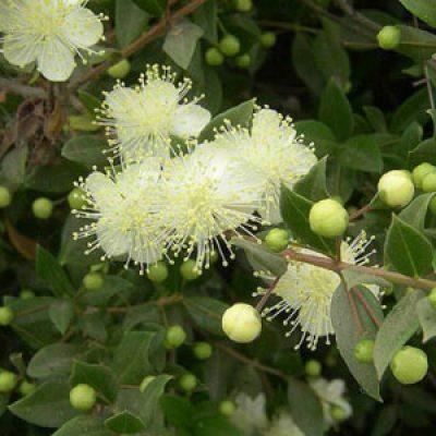 Myrtus communis – Myrtle – Seeds