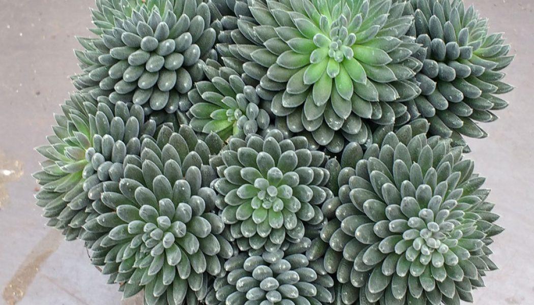Sinocrassula yunnanensis – Cuttings