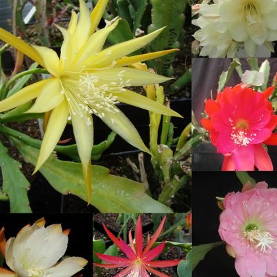 Epiphyllum Collection – 10 Cuttings