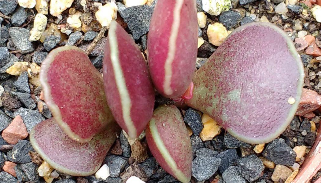 Adromischus cooperi Red Glow – Cuttings