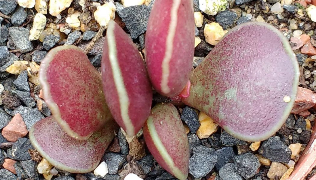 Adromischus cooperi Red Glow – Cuttings
