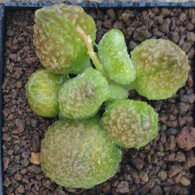 Adromischus marianiae herrei Lime Drops – Cuttings