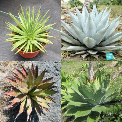 Agave Mixed Seeds