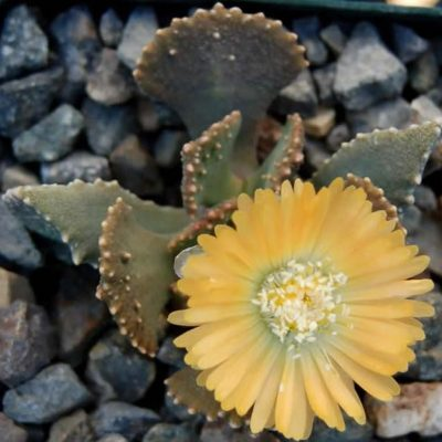 Aloinopsis malherbei – Living Stones – Seeds