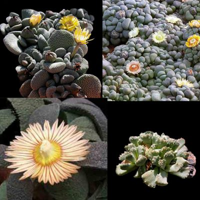 Aloinopsis Mixed Seeds – Living Stones – Seeds
