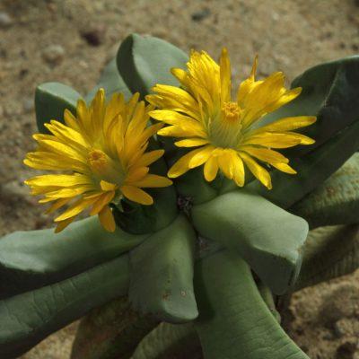 Bijlia cana – Living Stones – Seeds