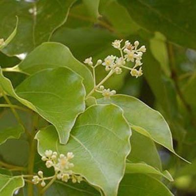 Cinnamomum camphora – Camphor Tree – Seeds