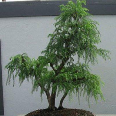 Cryptomeria japonica – Japanese Cedar – Seeds