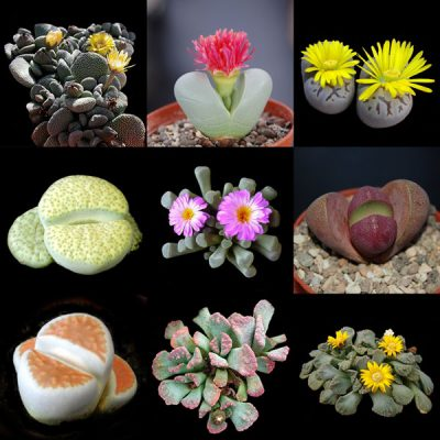 Lithops & Mesembs Collection – Living Stones – 10 Plants