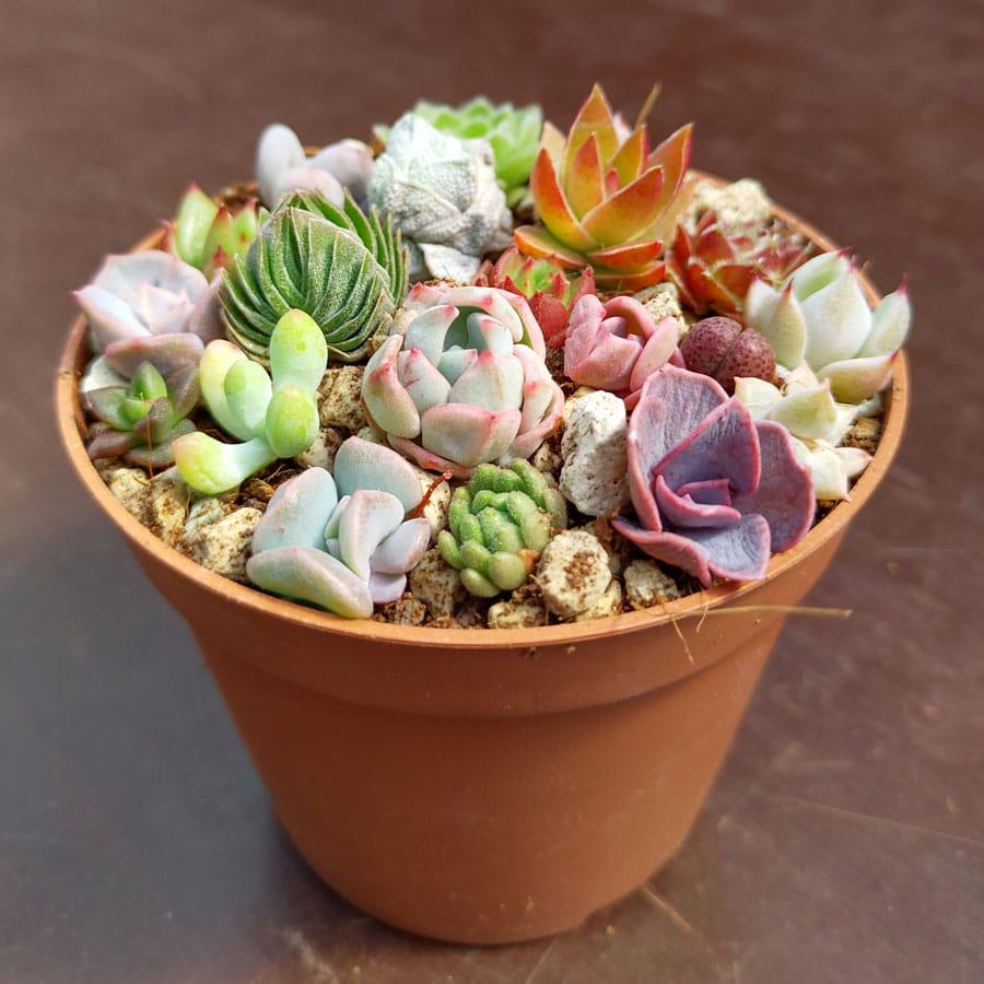 Mini Succulents Mix 10 Cuttings Sunnyplants Com