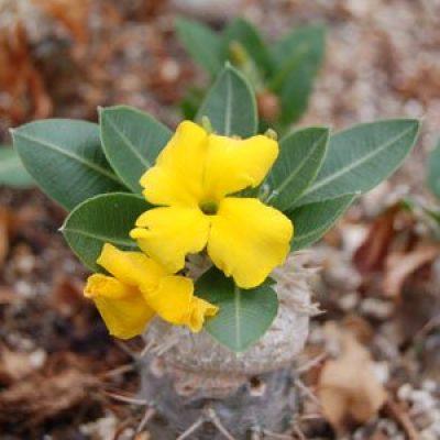 Pachypodium brevicaule – Plants