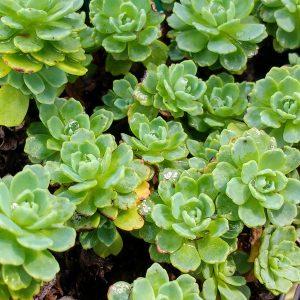 Vetplanten Voor Buiten.Winterharde Vetplanten Kopen Succulenten Voor Buiten