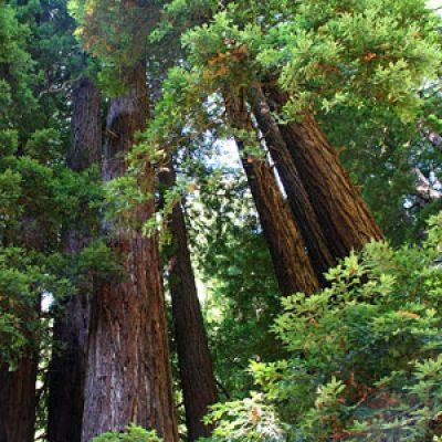 Sequoia sempervirens – Coastal Redwood – Seeds